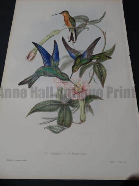 John Gould Hummingbirds Pterophanes Temmincki