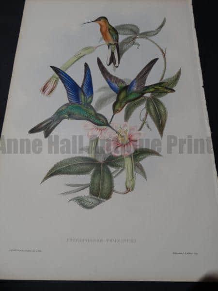 John Gould Hummingbirds Pterophanes Temmincki