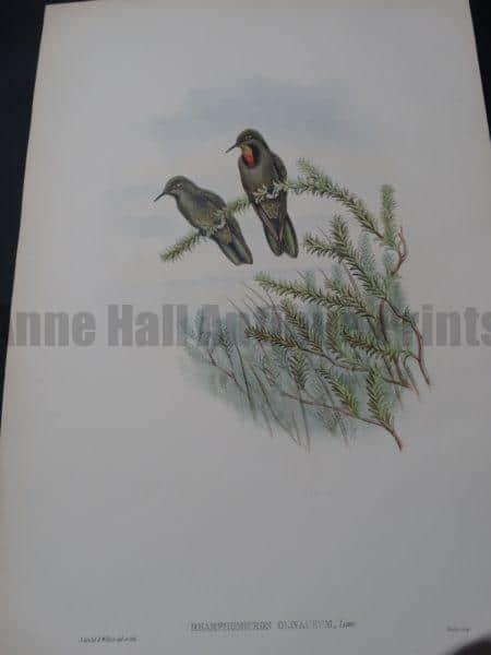 John Gould Hummingbirds Rhamphomicron Olivaceum