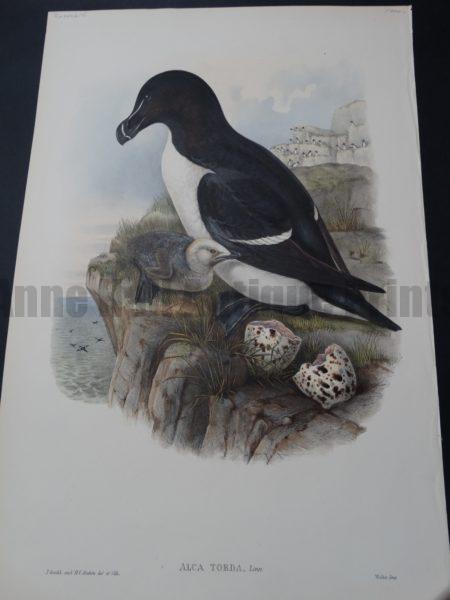 John Gould Water Birds Alca Torda