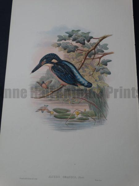 Blyth's kingfisher watercolor lithograph