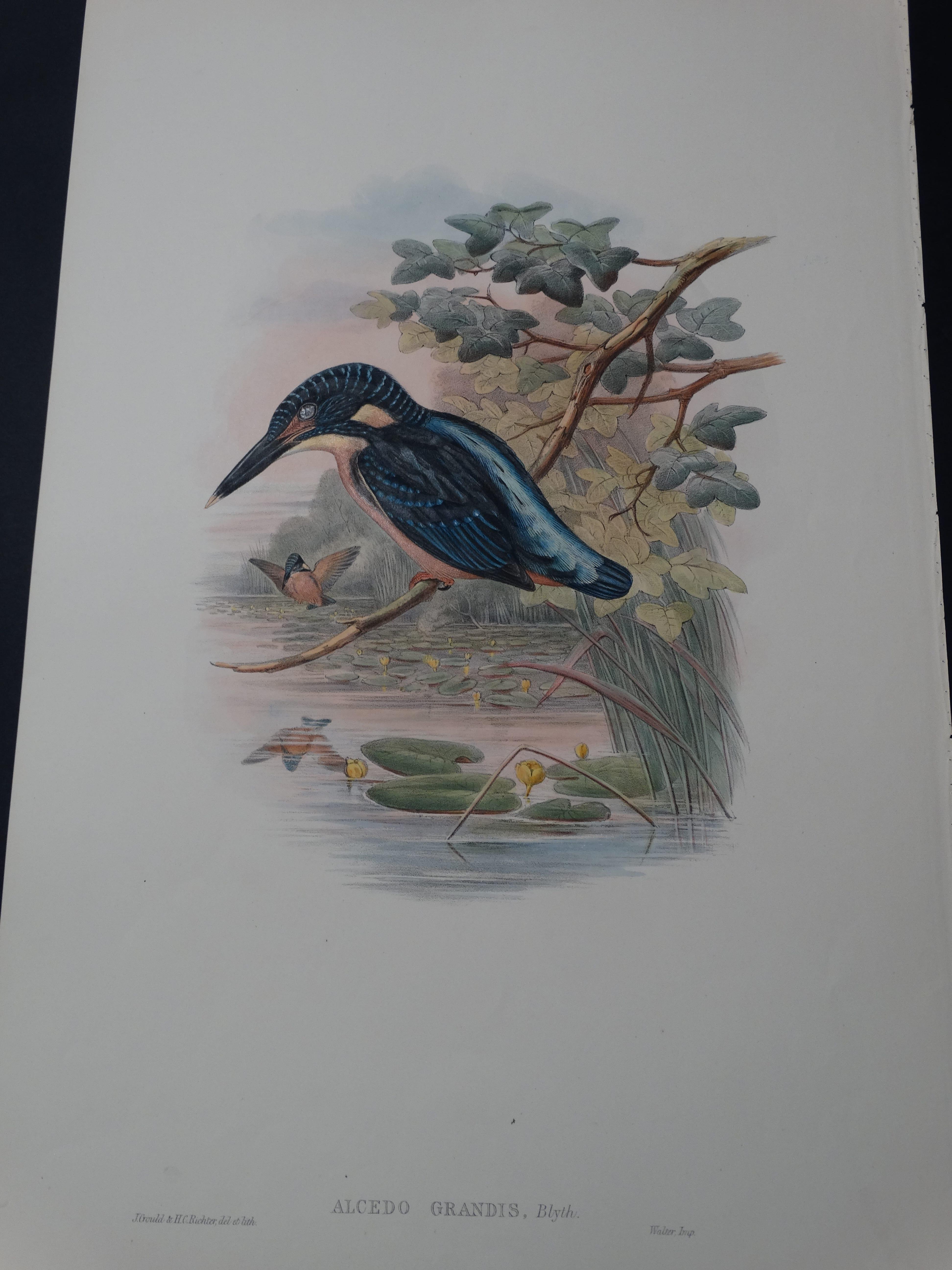 John Gould Water Birds Alcedo Grandis