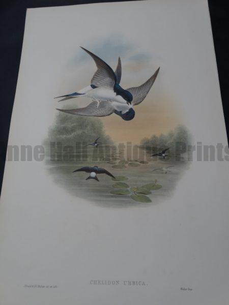 John Gould Water Birds Chelidon Urbica Swallows