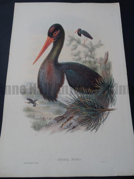 John Gould Water Birds Ciconia Nigra Stork