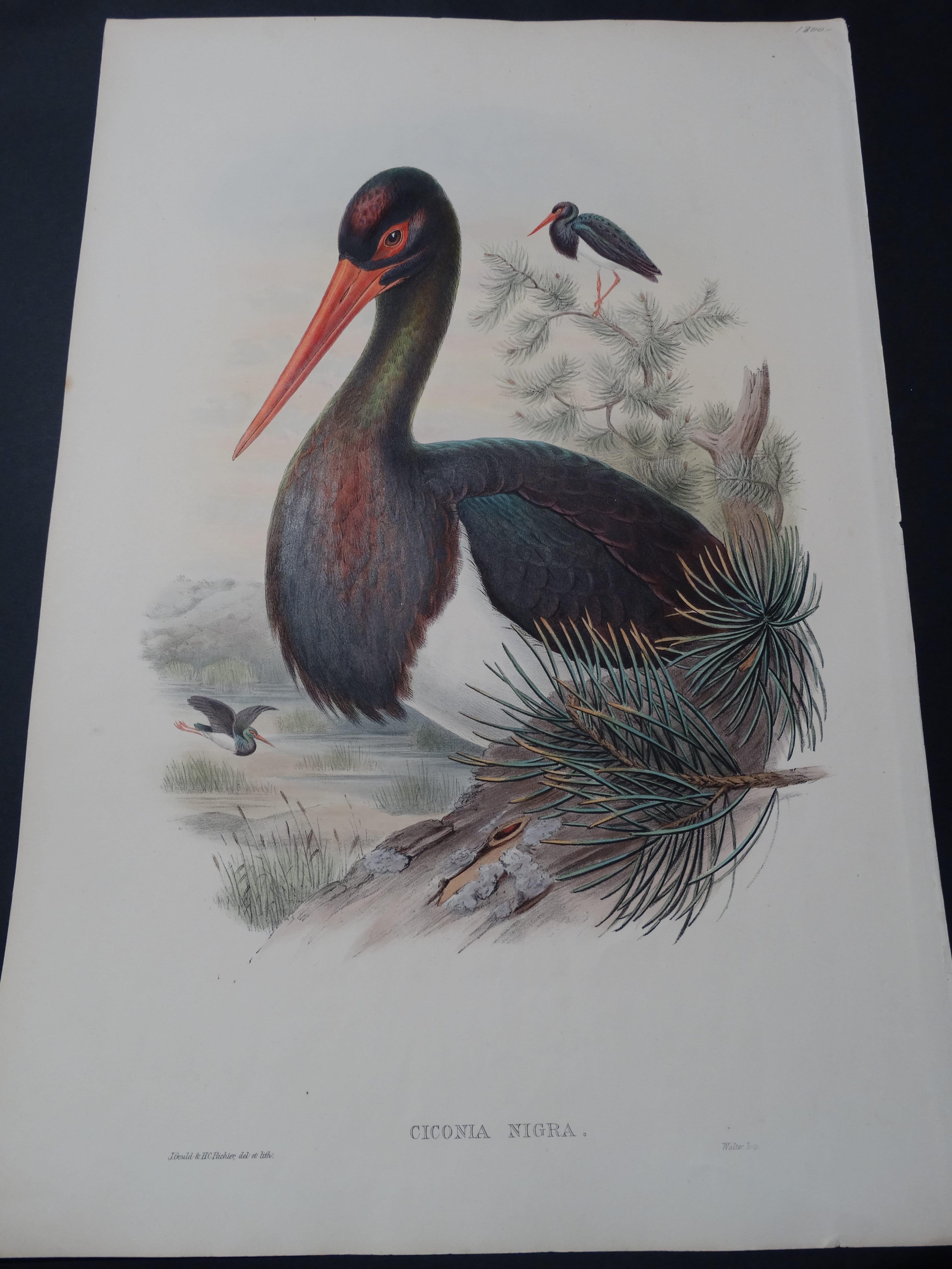 John Gould Water Birds Ciconia Nigra