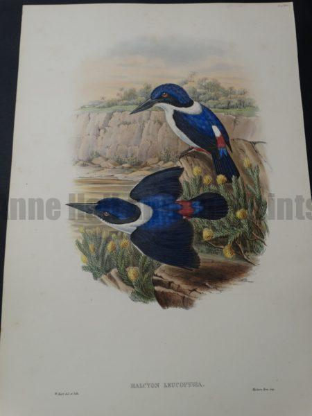 Blue Kingfisher white collar