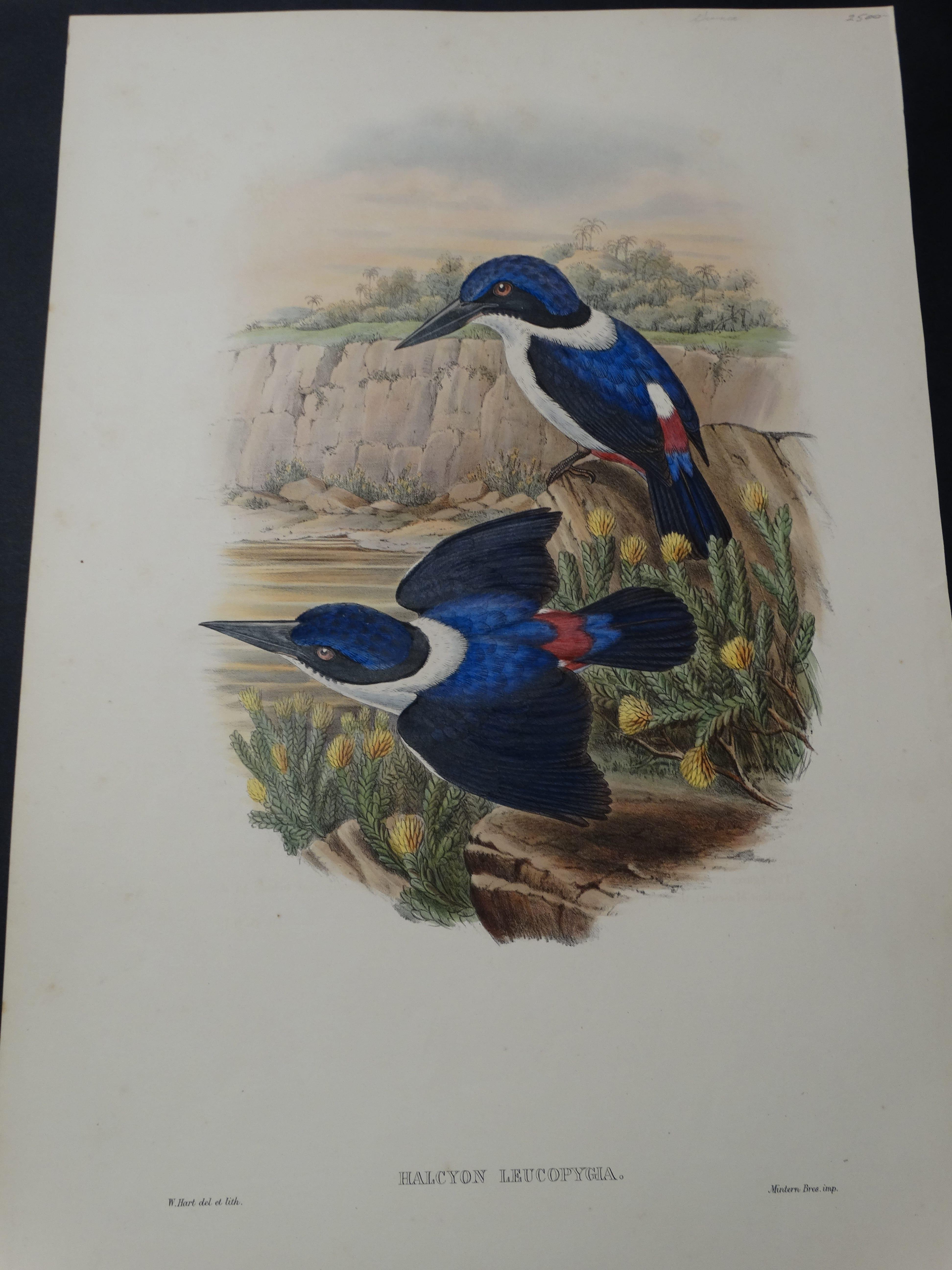 John Gould Water Birds Halcyon Leucopygia