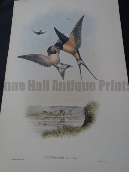 John Gould Water Birds Hirundo Rustica