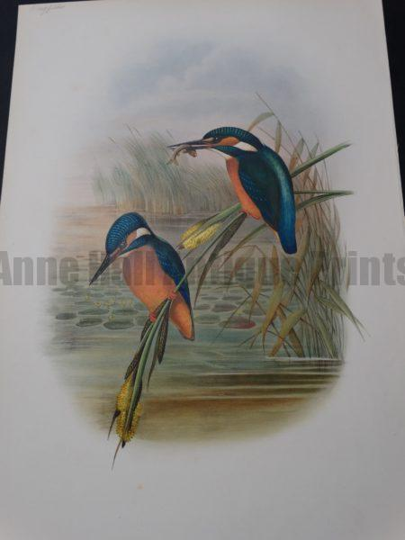 John Gould Water Birds Kingfisher