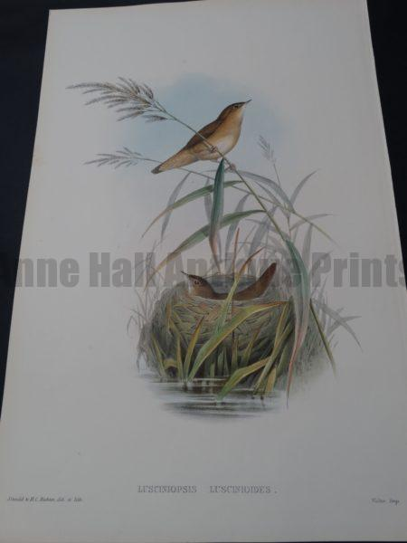 John Gould Water Birds Lusciniopsis Luscinioides