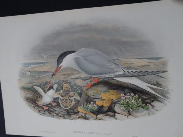 John Gould Water Birds Sterna Hirundo