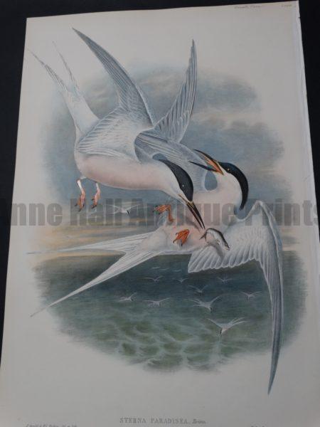 John Gould Water Birds Sterna Paradisea