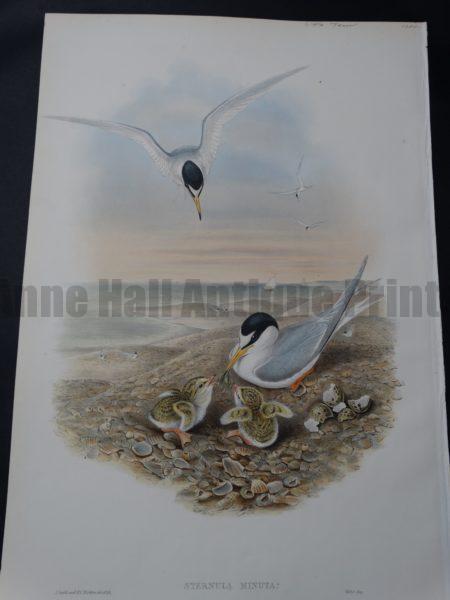 Sternula Minuta Black Headed Terns by John Gould