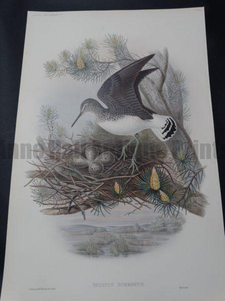 John Gould Hand Colored Lithograph