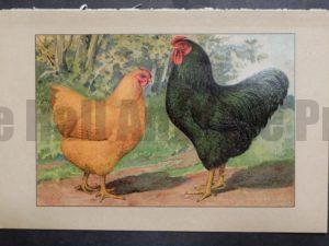 Kramer Poultry Chromolithograph 27