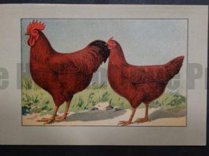 Kramer Poultry Chromolithograph 26