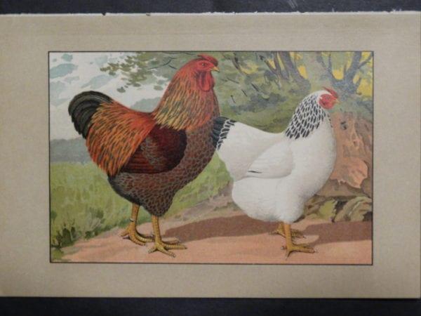 Kramer Poultry Chromolithograph 25