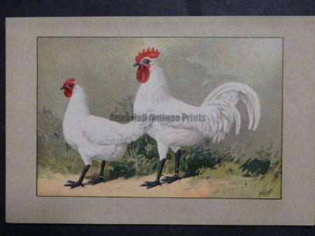 Kramer Poultry Chromolithograph 38