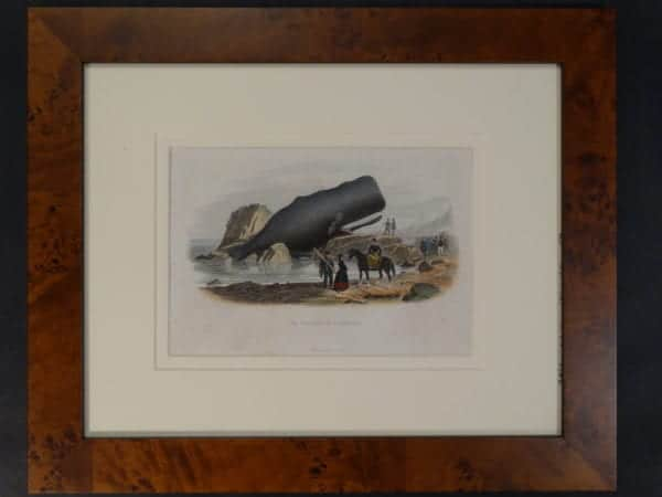 """Le Physale Cylindrique. Framed hand-colored lithograph, 1809-1865. 14"""" x 17"""""""