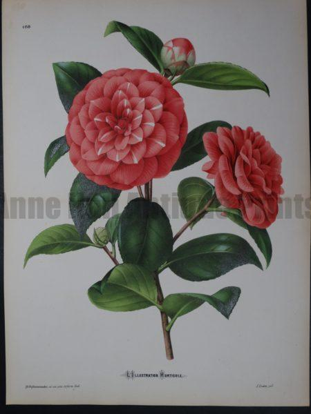 Linden Camellia #168