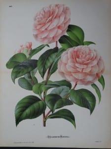 Linden Camellia #185