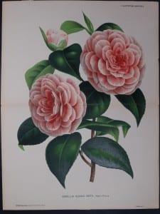 Linden Camellia Albino Botti