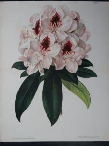 Linden Rhododendron 130