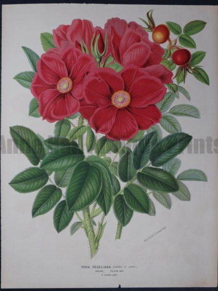 Large, beautiful, antique lithograph, over 100 years old, of intense pink rose. Linden Rosa Regeliana. Purchase for $150., valued at $250.