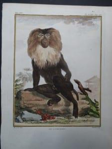 Lion Monkey. Buffon.