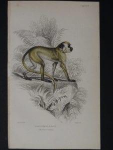 Lizar Monkey Cercocebus Sabaes Pl. 13