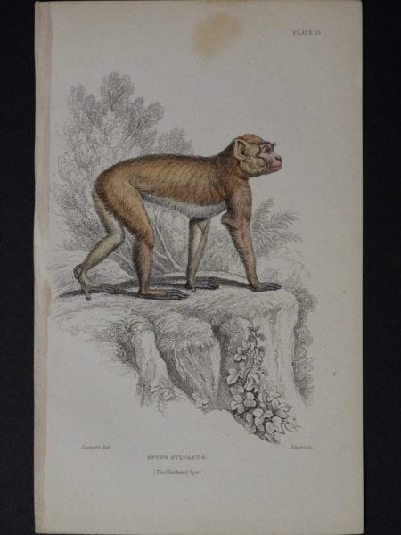 Lizar Monkey Inuus Sylvanus Pl. 15