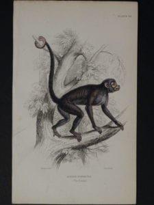 Lizar Monkeys Ateles Paniscus Pl. 20