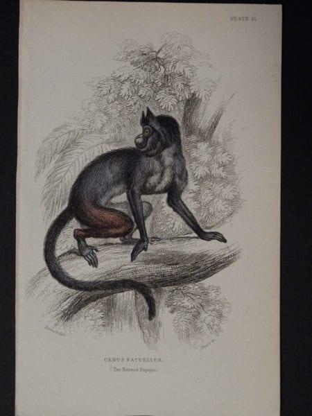 Lizar Monkeys Cebus Fatuellus Pl. 21