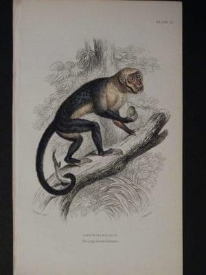 Lizar Monkeys Cebus Monachus Pl. 22