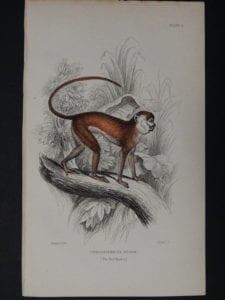 Lizar Monkeys Cercopithecus Ruber Pl. 11