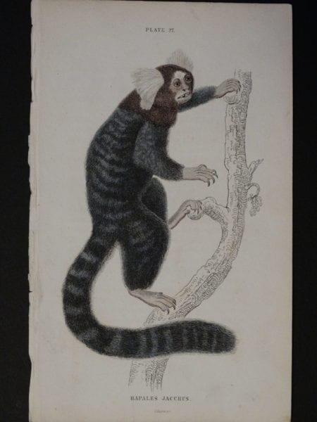 Lizar Monkeys Hapales Jacchus Pl. 27 (2)