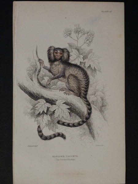 Lizar Monkeys Hapales Jacchus Pl. 27
