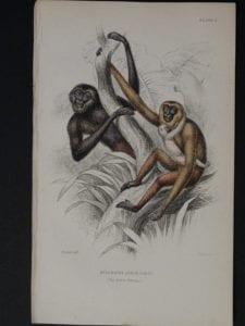 Lizar Monkeys Hylobates Agilis Pl. 5