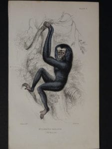 Lizar Monkeys Hylobates Hoolock Pl. 3
