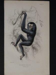 Lizar Monkeys Hylobates Hoolock Pl. 3