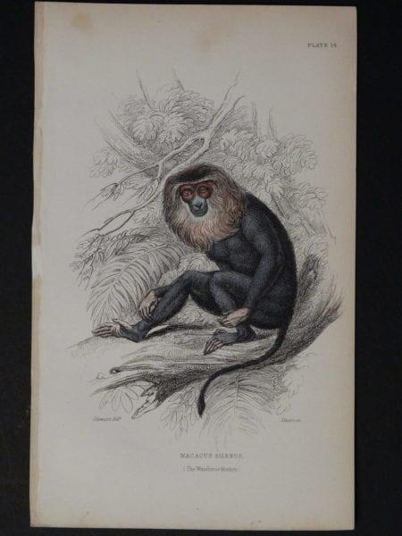 Lizar Monkeys Macacus Silenus Pl. 14