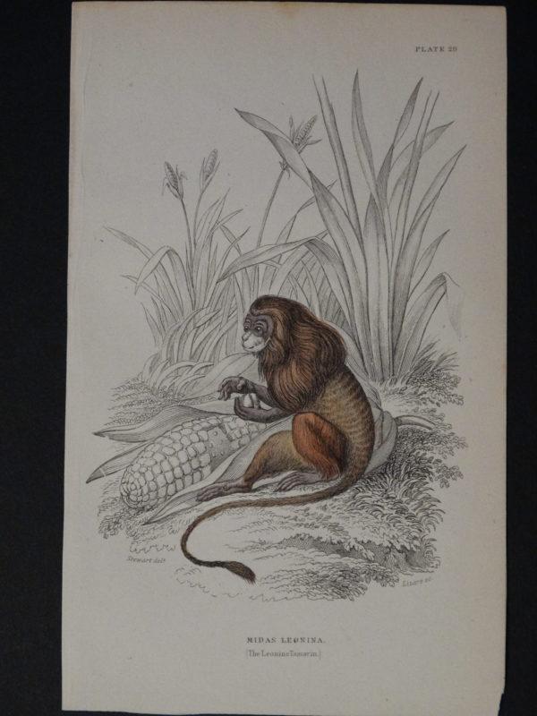 Lizar Monkeys Midas Leonina Pl. 29