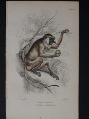 Lizar Monkeys Nasalis Larvatus Pl. 6
