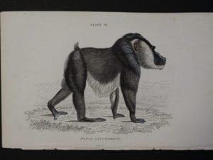 Lizar Monkeys Papio Leuophaeus Pl. 18