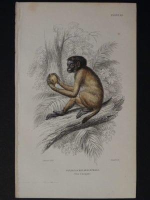 Lizar Monkeys Pithecia Melanocephala Pl. 26