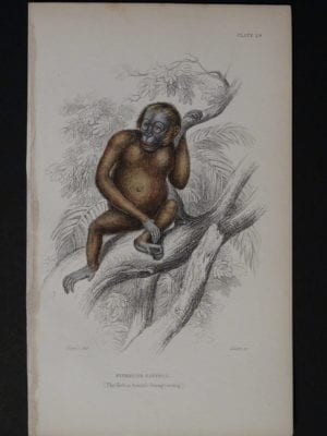 Lizar Monkeys Pithecus Satyrus Male