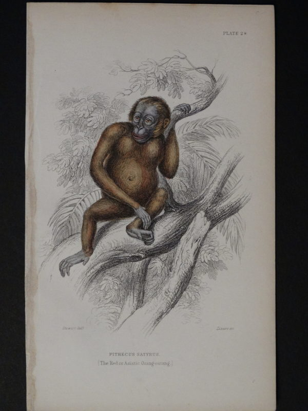 Lizar Monkeys Pithecus Satyrus Male
