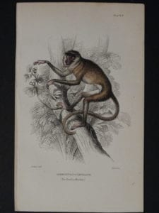 Lizar Monkeys Semnopitecus Entellus Pl. 9