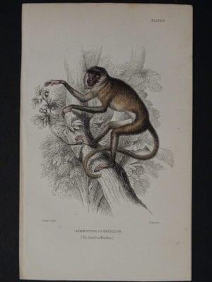 Lizar Monkeys Semnopitecus Entellus Pl. 9