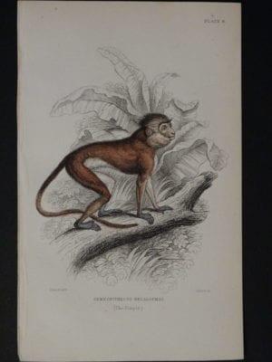 Lizar Monkeys Semnopithecus Melalophas Pl. 8